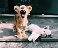 Little, but my roar is big! #roar #babyanimals #cute