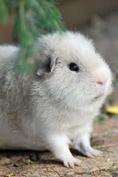 Guinea pig. OMG! It's so fuzzy!
