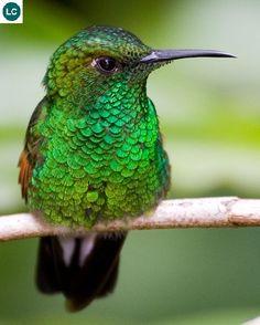 https://www.facebook.com/WonderBirdSpecies/ Stripe-tailed hummingbird (Eupherusa eximia); From southeastern Mexico to Panama; IUCN Red List of Threatened Species 3.1 : Least Concern (LC)(Loài ít quan tâm)    Chim ruồi đuôi sọc; Từ đông-nam Mexico đến Panama; HỌ CHIM RUỒI - TROCHILIDAE (Hummingbirds).