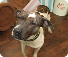 American Staffordshire Terrier Mix Dog for adoption in Detroit, Michigan - Glenda