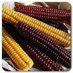 Organic Roy's Calais Flint Corn
