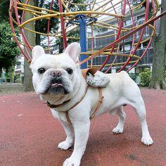 お昼の散歩 #フレブル #フレンチブルドッグ #buhi #ブヒ #frenchbull #frenchbulldog #frenchie