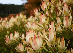 Growing and arranging beautiful Australian Native Flowers and all things Proteaceae. Protea Wedding, Wedding Flowers, Mediterranean Plants, Australian Native Flowers, Tropical Landscaping, Drought Tolerant, Maui, Shrubs, Exotic