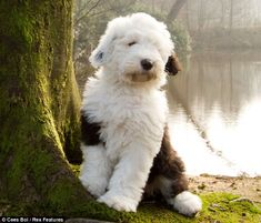 Old English Sheepdog Puppy! How can you not love these dogs? I will have another one someday Big Dogs, I Love Dogs, Cute Dogs, Beautiful Dogs, Animals Beautiful, Cute Animals, Sheep Dog Puppy, Sheep Dogs, Doggies