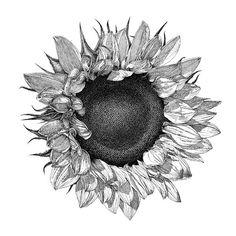 Single Sunflower - William Beauchamp, fineartamerica
