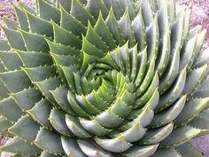 Fibonacci & Nature #spiral