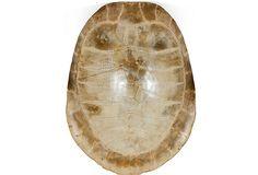 19th-C. Oversized Albino Tortoiseshell