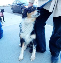 Pretty Girl - Dickson Petco Adopt-a-thon February 2016 Last Chance Pet Rescue (lastchancepetrescue-dickson@yahoo.com)