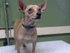 #A4792094 I'm an approximately 3 year old female chihuahua sh. I am not yet spayed. I have been at the Carson Animal Care Center since January 15, 2015. I will be available on January 20, 2015. You can visit me at my temporary home at CFOSTER.  http://www.petharbor.com/pet.asp?uaid=LACO1.A4792094  Carson Shelter, Gardena, CA