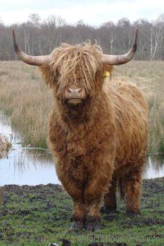Schotse hooglander_model