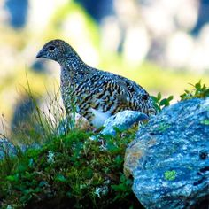 Can't wait to hunt birds again and specially ptarmigan! This one I got to film last year. So let's hope for a great spring and summer that is necessary for a good amount of chickens... #jegerbloggen #grouse #Mountain  #ptarmigan #birds #wildlife #jakt #chasse #jagd #hunting #hunter #canon #hunterforlife #jaktfoto #NJFF #liveterbestute #Sunnmøre #photos #rypejakt #fjellrype by jegerbloggen