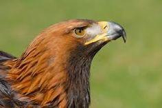 uk eagle - Google Search