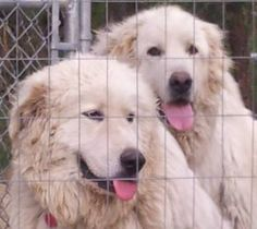 My two great pyrenese - Zeus (2) and Thor (1).