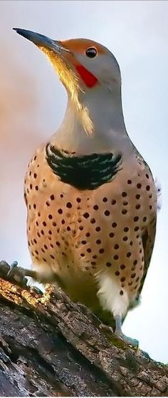Northern Flicker had one fly down my chimney this past year in spring, they like…