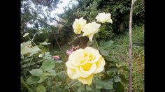 слайд шоу цветы розы