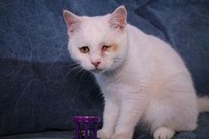 4/18 STILL LISTED Westchester County, NY - Joory - ID#20952359 I am a young spayed female, white American Shorthair. I am available for adoption now! Ask about 12195530. Joory is a 7 month old (As of October 2017) female. She will be having her eye removed in the near future by her rescuers. Please consider adopting Joory. She is a beautiful cat with a beautiful personality! For more information about Joory Call FURRR 911, Inc. at 914 761-6735