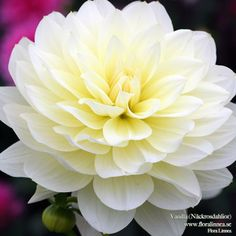 "Vanilla Dahlia (4-6"" bloom; 2-3' bush): white-yellow blend; decorative."