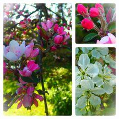 .koristeomena--ja kirsikkapuu