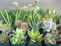 Succulent Plants 6 Live Potted Collection by SucculentSalon, $15.00