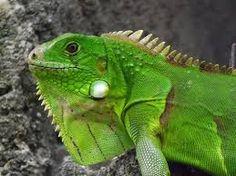 ¿Sabías Que...?: Sabías Que La Iguana Verde Tiene Un Excelente Visión A Grandes Distancias