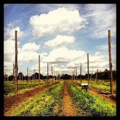 Hops fields