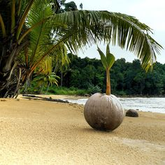 The forsaken red sand beach - a young palm tree sprouting from a coconut. Beautiful Islands, Beautiful Beaches, Puerto Rico, Red Sand Beach, Coconut Palm Tree, Tropical Beaches, Tahiti, Amazing Nature, Belle Photo