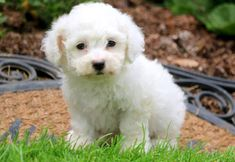 This pretty Bichon Frise puppy is waiting for her new loving family! She is vaccinated, wormed and comes with a 1 year genetic health guarantee. Bichon Puppies For Sale, Puppies Puppies, Cute Puppies, Cute Puppy Pictures, Puppy Pics, Can Dogs Eat, Dog Feeding, Bichon Frise, Poodle