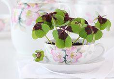 Plantado em uma bonita xícara, o trevo-de-quatro-folhas, ao qual é atribuído o poder de atrair boa fortuna, vira presente para as amigas convidadas para o chá da tarde regado a bate-papo