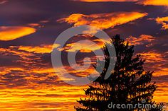 Tall fir tree against beautiful sunset with clouds over sun. Orange sky background.