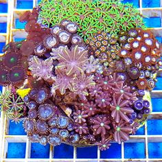How about these fantastic coral gardens with a great variety of corals and extraordinary colours!... Who has a coral garden like this, or have you put your own garden together? #TMC #TropicalMarineCentre #TMCLookForTheLabel #zoa #coralgarden #gsp #coral #corals #softcoral #softcorals #marine #saltwater #aquarium #tank #marinetank #marineaquarium#reefaquarium #reeftank #nanotank #nanoaquarium #nano #animal #animals# #sea #seas