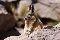 ウサギのようでウサギじゃない。いつも眠そうな表情の愛嬌のある動物「ビスカッチャ」