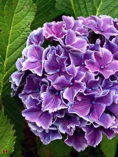 Bi-color hydrangeas in The Garden of Zen.