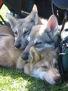 saarloos wolfhond Wolfdog Hybrid, Czechoslovakian Wolfdog, Majestic Animals, Beautiful Dogs, Mans Best Friend, Animals And Pets, Fur Babies, Art Reference, Husky