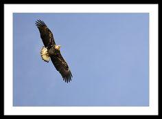 Eagle Flight Framed Print By Bonfire #Photography