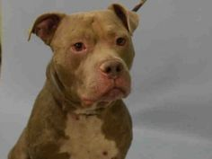 Brooklyn Center DONTE-A1053638  MALE, BROWN / WHITE, AM PIT BULL TER MIX, 5 yrs  OWNER SUR – EVALUATE, NO HOLD Reason PET HEALTH  Intake condition EXAM REQ Intake Date10/04/2015, From NY 11385, DueOut Date10/04/2015,  Urgent Pets on Death Row, Inc