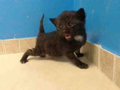 TO BE DESTROYED 9/14/13 Brooklyn Center  My name is ADDIE. My Animal ID # is A0978549. I am a female black domestic sh mix. The shelter thinks I am about 3 WEEKS old.  I came in the shelter as a STRAY on 09/10/2013 from NY 11435, owner surrender reason stated was STRAY. I came in with Group/Litter #K13-152820. https://www.facebook.com/photo.php?fbid=663189813692854&set=a.576546742357162.1073741827.155925874419253&type=3&theater