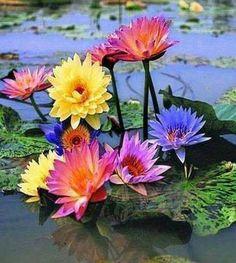 Lotus Garden, Lotus Plant, Macro Flower, Flower Art, Flowers Nature, Pretty Flowers, Water Lilies, Flower Making, Beautiful Roses