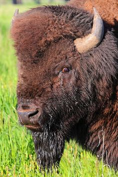 Bison, Grand Teton National Park; photo by .I-Ting Chiang Buffalo Pictures, Strongest Animal, Musk Ox, Native American Images, American Bison, Grand Teton National Park, Nature Animals, Animal Paintings, Mule Deer