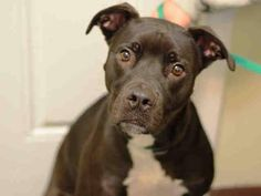 Brooklyn Center ZEUS - A1022560 NEUTERED MALE, BLACK / WHITE, AM PIT BULL TER / LABRADOR RETR, 2 yrs OWNER SUR - EVALUATE, NO HOLD Reason MOVE2PRIVA Intake condition EXAM REQ Intake Date 12/07/2014, From NY 11214, DueOut Date 12/07/2014, https://www.facebook.com/Urgentdeathrowdogs/photos/pb.152876678058553.-2207520000.1417998358./918165324863014/?type=3&theater