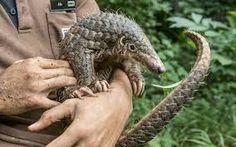 pangolins - Google Search Chinese Pangolin, Mammals, Cute Animals, Google Search, Nature, Pretty Animals, Naturaleza, Cutest Animals