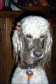 """White Standard Poodle, """"17 month old Murphy, after frolicking in the mud."""""""