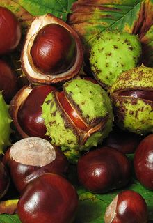 Herbs - Herbs - Horse Chestnut - Dr. Weil's Herbal Remedies--for Phlebitis