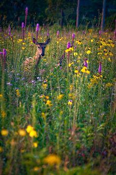 ~Fawn in the Prairie~Wolf Road Prairie, IL