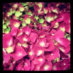 Lovely pink hydrangeas