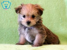 Cowboy | Morkie Puppy For Sale | Keystone Puppies