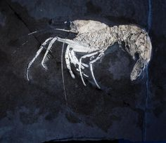 Aeger sp., fossil crustacean, from lithographic limestone of the Tithonian Age of Solnhofen, Germany