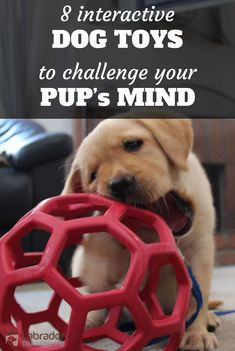 8 Best Interactive Dog Toys To Challenge Your Lab's Mind - Puppies! - Yellow Lab puppy playing with red honeycomb ball. – 8 best interactive dog toys to challenge your - Cute Dog Toys, Diy Dog Toys, Best Dog Toys, Pet Toys, Best Puppies, Toy Puppies, Dogs And Puppies, Doggies, Background Grey