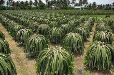 Como plantar Pitaia. A pitaia ou pitaya é fruto de um cacto natural de climas tropicais e subtropicais, que produz um fruto bizarro que pela sua aparência também é conhecido como 'Dragon fruit' ou fruto do Dragão. É adoci...