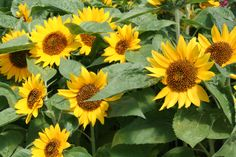 Big smile dwarf sunflower (Helianthus annus) This variety grows up to 24 inches. We are planting 10 varieties of dwarf sunflowers as a temporary filler for the flower bed, as we can't plant bulbs until October or November in our hot desert climate.