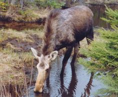 magnificent moose | magnificent moose photos by doug lloyd christine flindall ron ...